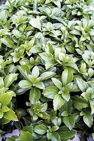 Bodendecker »Schattengrün«