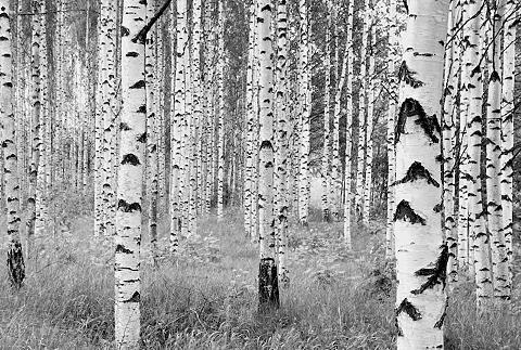 KOMAR Tapetai »Birken« 368/248 cm