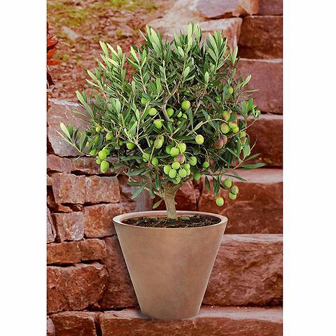 Olivenbaum Busch