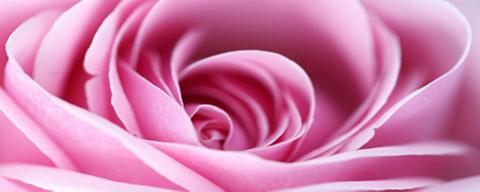 HOME AFFAIRE Paveikslas ant drobės »Pink Rose«