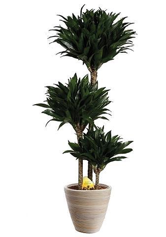Zimmerpflanze »Drachenbaum Compacta« 6...