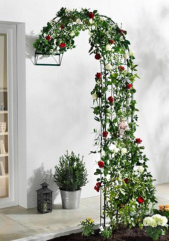 Tvorelės rožėms »Baccara«