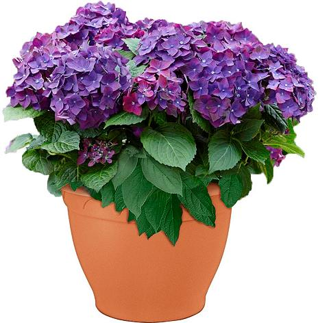 Hortensie »Deep Purple Dance«