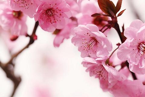 Fototapetas »Peach Blossom« 350/260 cm...