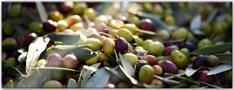 Paveikslas »Mediterrane Oliven - Panor...
