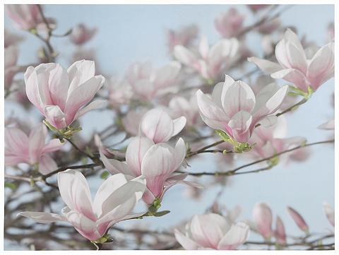 KOMAR Fototapetas »Magnolia« 368/254 cm