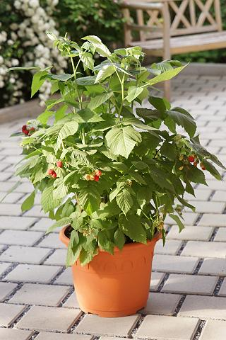 Himbeere »Lubera® Lowberry® Little Red...