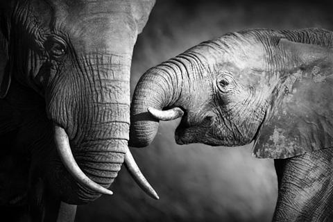 Paveikslas ant drobės »Elefant« Tiermo...