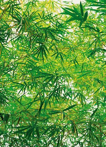 Fototapetas »Bamboo« 4 vienetai 183x25...