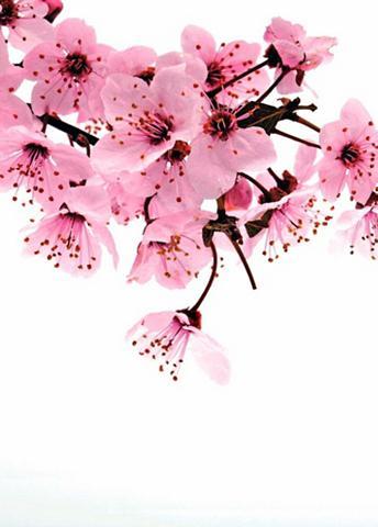 RASCH Fototapetas »rosa Blüte« 3D-Optik mehr...