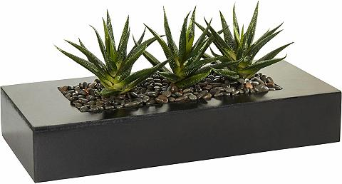HOME AFFAIRE Dekoratyvinis augalas in 2 variantai