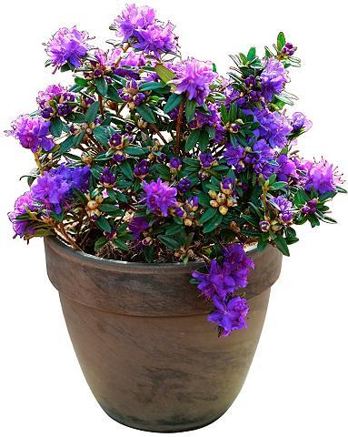 Rhododendron »Maggie« Höhe: 20 cm 1 Pf...