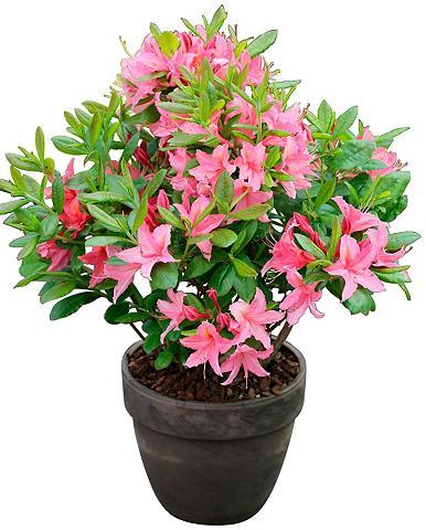Rhododendron »Jolie Madame« Höhe: 15 c...