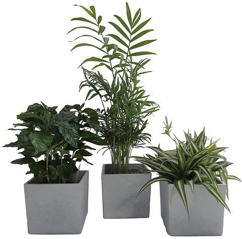 DOMINIK Zimmerpflanze »Palmen-Set« Höhe: 30 cm...