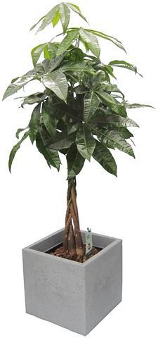 DOMINIK Zimmerpflanze »Pachira« Höhe: 60 cm 1 ...
