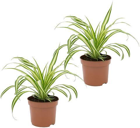DOMINIK Zimmerpflanze »Grünlilien« Höhe: 15 cm...