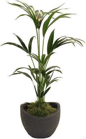 DOMINIK Zimmerpflanze »Kentia-Palme« Höhe: 60 ...