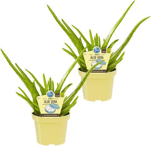DOMINIK Zimmerpflanze »Echte Aloe Sweet« Höhe:...