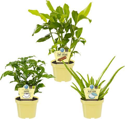 DOMINIK Zimmerpflanze »Grünpflanzen-Set« Höhe:...