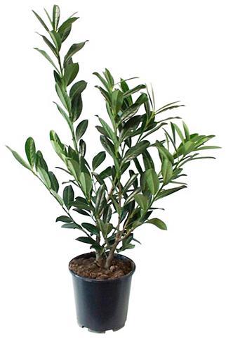 Gyvatvorė »Kirschlorbeer« 4 Pflanzen