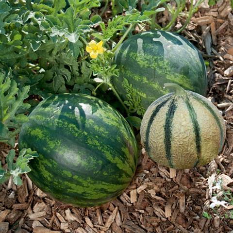 VOLMARY Rinkinys: Melone 3 Sorten im derinys