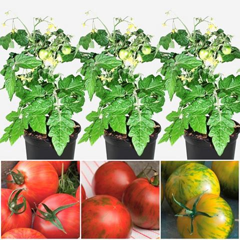 VOLMARY Rinkinys: Tomate »Tiger-Line« 3 Sorten...