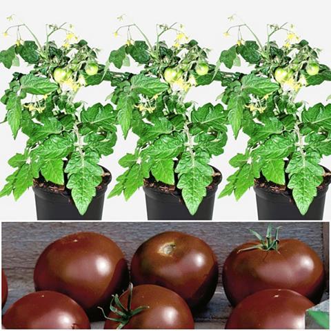 VOLMARY Tomate »Schokolade« 3 Pflanzen