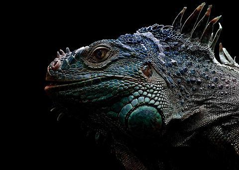Alu Dibond »Iguana« 140/100 cm