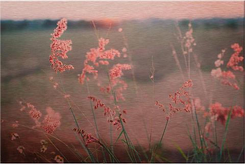 Alu-Dibond-Bild »Gräser« 60/40 cm