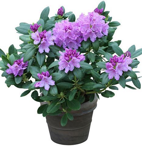 Rhododendron »Catawbiense Grandiflorum...