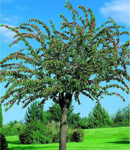 Obstbaum »Süßkirsche Schneiders Späte ...